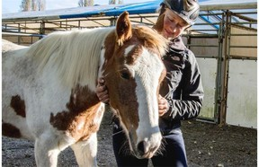 Southlands Riding Club Rescue Program trainer Robyn Hunt, with Swagger. The pony was rescued at auction by a successful bid against a meat buyer from Eugune, Oregon.