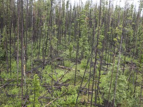 Pine trees damaged during the mountain pine beetle infestation near Quesnel.