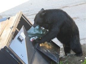 WHISTLER, B.C. July 25, 2014  A black bear goes through garbage in this photo taken during by a B.C. Conservation Service officer responding to a call in Whistler a few years ago. Unsecured attractants are a major factor in unwanted human-bear encounters. Handout Photo: B.C. Conservation Service. (for a story by Elaine OConnor.) [PNG Merlin Archive]