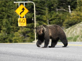 Over the past 35 years, more than 80 per cent of grizzly-human conflicts have occurred when bears are eating to fatten up for winter.