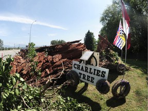 A tree named after a World War I veteran which fell onto Highway 1near 200th St and caused a minor accident and traffic backup Saturday night, in Surrey, BC., August 1, 2016. The 300 year-old Douglas Fir acquired the name Charlies Tree, after veteran Charlie Perkins planted ivy at its base and lay wreaths on it to honour his fallen friends from the first world war.