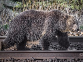 A grizzly bear walks along a railroad track in a handout photo. A study suggests hungry grizzly bears drawn to bountiful berry crops in southeastern British Columbia are dying in disturbing numbers.