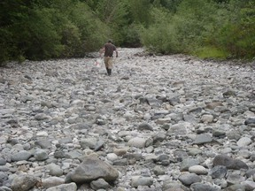 A volunteer walks up a dry riverbed while rescuing juvenile salmon in a tributary of the Cowichan River.