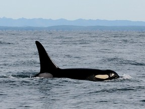 Mother-daughter conflicts rooted in a tug-of-war between competition and co-operation are helping explain why killer whales go through menopause, says a study released Thursday.