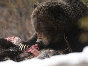 Grizzly bear No. 122 feeds on a moose carcass in 2013.