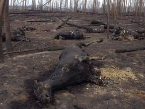 The death of wild horses in the Chilcotin is the most dramatic evidence to date of the impact of this summer's wildfires on wildlife.