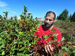 Humraj Kallu looks at blueberries Sunday at CanWest Farms in Richmond, where production has shrunk during Metro Vancouver's dry summer.