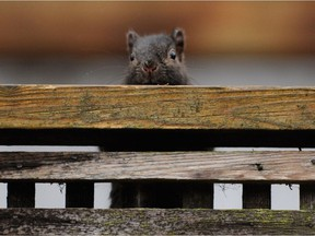 A mischievous squirrel peeks over a fence at Shannon Mews which is situated along Granville street and 57th ave