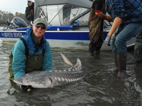 Mark Angelo releases a tagged threatened white sturgeon off Herrling Island, described as the Heart of the Fraser River due to its productive habitat.