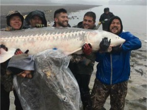 Facebook photos depict members of the Sts'ailes First Nation manhandling a huge threatened white sturgeon for photos after it was caught in a net on the lower Fraser River. Large sturgeon should not be held out of the water due to the risk of suffocation and internal injuries from their own weight.