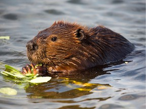 A beaver has died in Port Mood after being trapped in a sewer pipe by rising water.