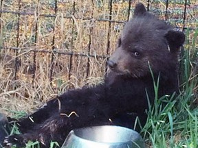 A black bear cub is pictured in the Dawson Creek area on May 6, 2016, before it was destroyed by a conservation officer.