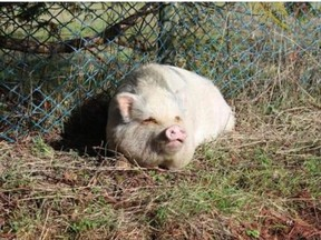 Molly, a potbelly pig that was adopted from the SPCA and then butchered and eaten by her new owners.