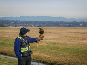 Trained raptors are among the methods employed by Vancouver International Airport to keep birds off the runways. Sometimes these raptors inadvertently kill non-target species such as short-eared owls, a species of special concern in B.C.