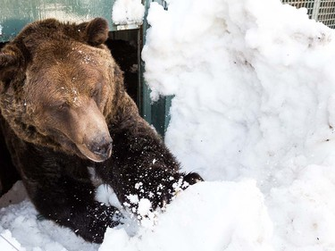 Grinder and Coola the two resident Grizzly Bears at the Grouse Mountain Refuge for Endangered Wildlife on top of Grouse Mountain Resorts emerge from a 153 day hibernation on April 24, 2018 in North Vancouver, British Columbia, Canada.