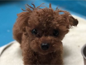 The BC SPCA says Mickey the poodle was stolen from the Vancouver SPCA shelter on July 24. Someone used bolt cutters to cut through the outer gate of the facility and the kennel door.