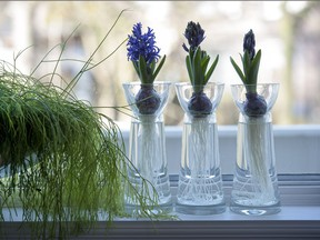 Blooming hyacinth bulbs add interest and perfume to any setting.
