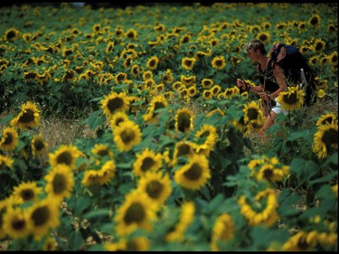 Simple elements, a hiker  among some sunflowers, Navarra, Spain.