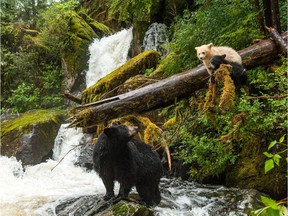 Just some of the stars of the new Ian McAllister-directed IMAX documentary Great Bear Rainforest.