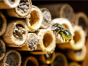 Mason bees are pollen spreaders and the best cross pollinators.