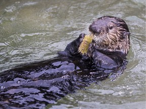 The Vancouver Aquarium is offering a number of unusual attraction mark Valentine's Day. Visitors can pay $10 to have a live sea urchin fed to a sea otter. If you ask nicely, Aquarium staff may name the urchin after an ex-lover.