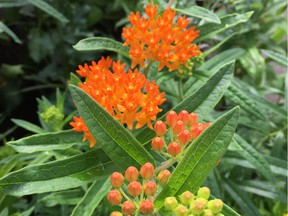 Asclepias t. (Butterfly Milkweed) is a popular choice for butterfly gardens. We all need to keep working to create the next million-certified pollinator gardens.