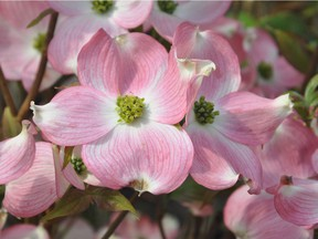 Cornus florida 'Rubra' is the most popular of all the pinks.