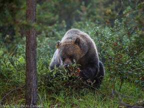 This is a file photo of a grizzly bear.