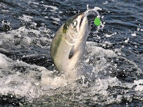 Chinook salmon fisheries will be severely curtailed in 2019.