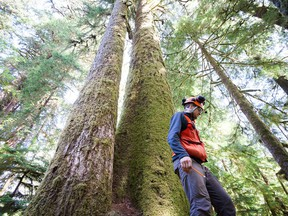 UBC researcher Vince Hanlon is seen amongst Sitka spruce trees, averaging 80 metres tall and ranging in age from 220 years to 500 years old, in Carmanah Walbran Provincial Park on Vancouver Island in a 2016 handout photo. Hanlon was part of a project that looked for evidence of the growth of genetic mutations in some of Canada's largest trees.