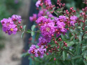 Crape myrtle Infiniti 'Purple' is one variety that is expanding the range of crape myrtles. Photo: Minter Country Garden