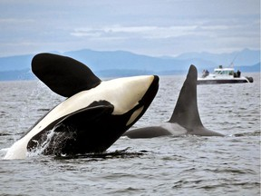 An endangered southern resident killer whale is missing and feared dead in the Pacific Northwest, the Center for Whale Research says. The centre in Washington state says on its website that the killer whale known as L41, pictured at left, was thin when researchers saw it last January.