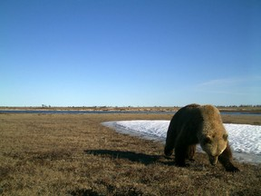 A Grizzly bear is seen in a field, captured by a remote camera in Wapusk National Park, Man., in a 2017 handout photo. Wapusk is one of many areas where researcher Douglas Clark says the bears are expanding their range in Canada.