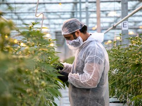 A worker at Canopy Growth Corporation, in Aldergrove, B.C.