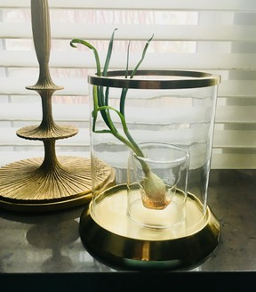 My attempt at living with a plant: watching an onion sprout gracefully in a glass and brass hurricane lantern by my south-facing window. Photo: Karl Lohnes.