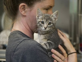 B.C. SPCA animal-care attendant Kathleen Connolly holds a cat at the group's provincial headquarters in East Vancouver on May 20.