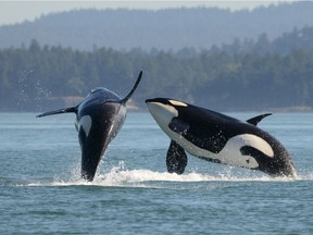 The new Royal B.C. Museum book Spirits of the Coast: Orcas in Science, Art and History is available now. The book is the companion piece for the exhibition Orcas: Our Shared Future that will open sometime at the Victoria museum in 2021. Photo: Ken Balcomb