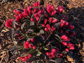 'Electric Love' has the first real red flowers on a dark-leaved weigela.