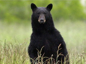 A black bear that bit a young girl near North Vancouver's Rice Lake Park has not been captured.
