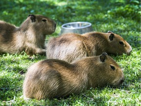 Three baby capybaras at the High Park Zoo in Toronto in 2017. Capybaras are known to carry ticks and can even shed coronavirus.