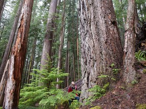 Jane Morden of Port Alberni stands beside one of the giant Douglas firs found in a remnant of ancient old-growth forest in the Cameron Valley, just 30 minutes' drive from the iconic Cathedral Grove Park, a major tourism draw.