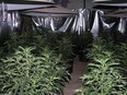 An illegal grow-op in an undated file photo.
