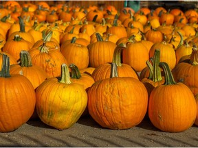 Rows of pumpkins are stocked for the upcoming Halloween season.