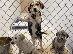 The BC SPCA seized 97 animals from a property in Princeton on Sept. 23, 2020. The animals were in states of severe neglect.