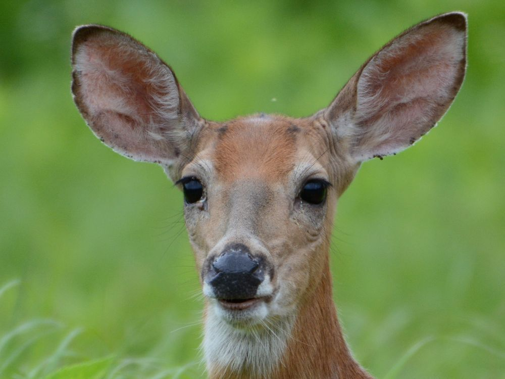 Deer attack in southeastern B.C. leaves woman cut, battered and bruised