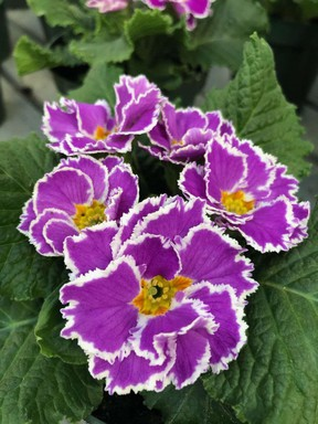 'Coco' is a new primula that is vibrant enough to lift anyone's spirits.