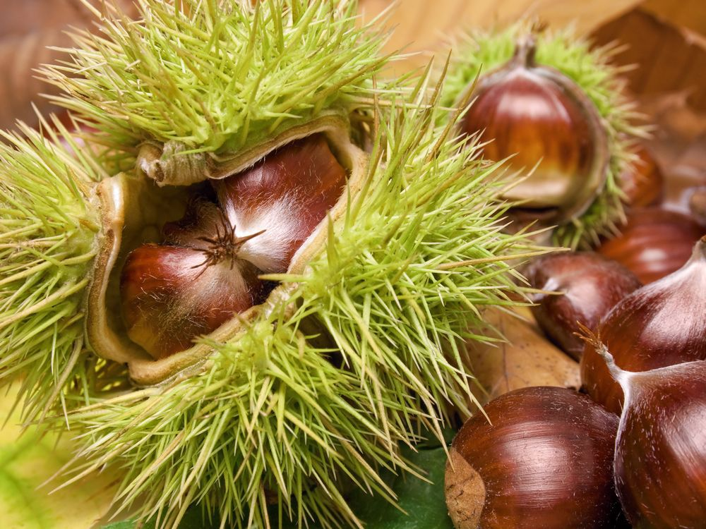 Brian Minter: How to plant, and roast, your chestnuts