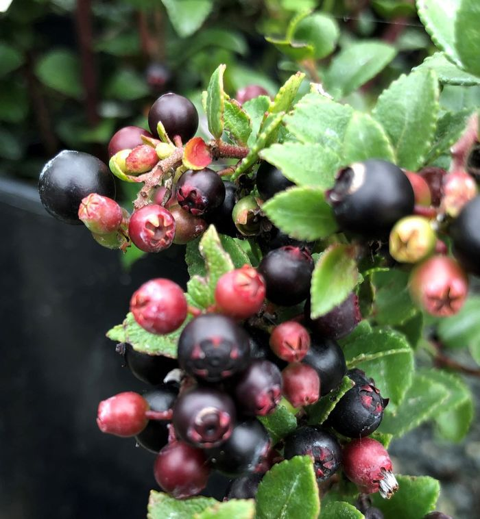 Dramatic dark blueberries are sweet and delicious.