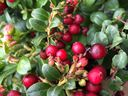 Lingonberries develop over time so you can harvest ripe berries while the young are still coming with you.