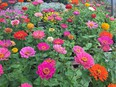 Zinnias are a summer-time favourite. They love the sun!